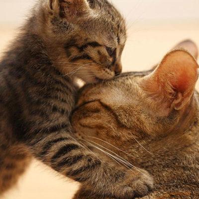 Feline Behaviour and Psychology Course